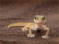 Namib Web Footed Gecko - Sally Freeman