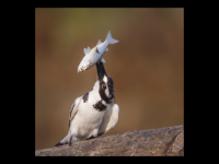 Female Pied Kingfisher with fish - Clare Price