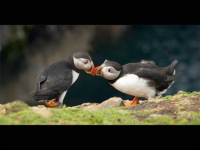 Puffin Greeting - Alison Johnson