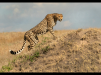Cheetah Scanning the Horizon - Veronica Rice