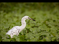 Juvenile Little Blue Heron with Gharial - Colin Birch