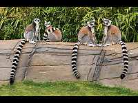 Ring tailed look alikes - Gary Woods