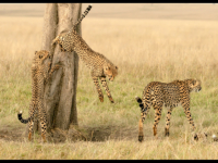 Tree Climbing Cheetahs - Veronica Rice