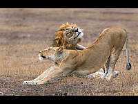 Contented Lions - Veronica Rice
