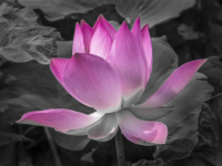 Lotus Flower - Ian Mcdonald