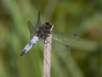 Broad bodied chaser dragonfly - Clare Price